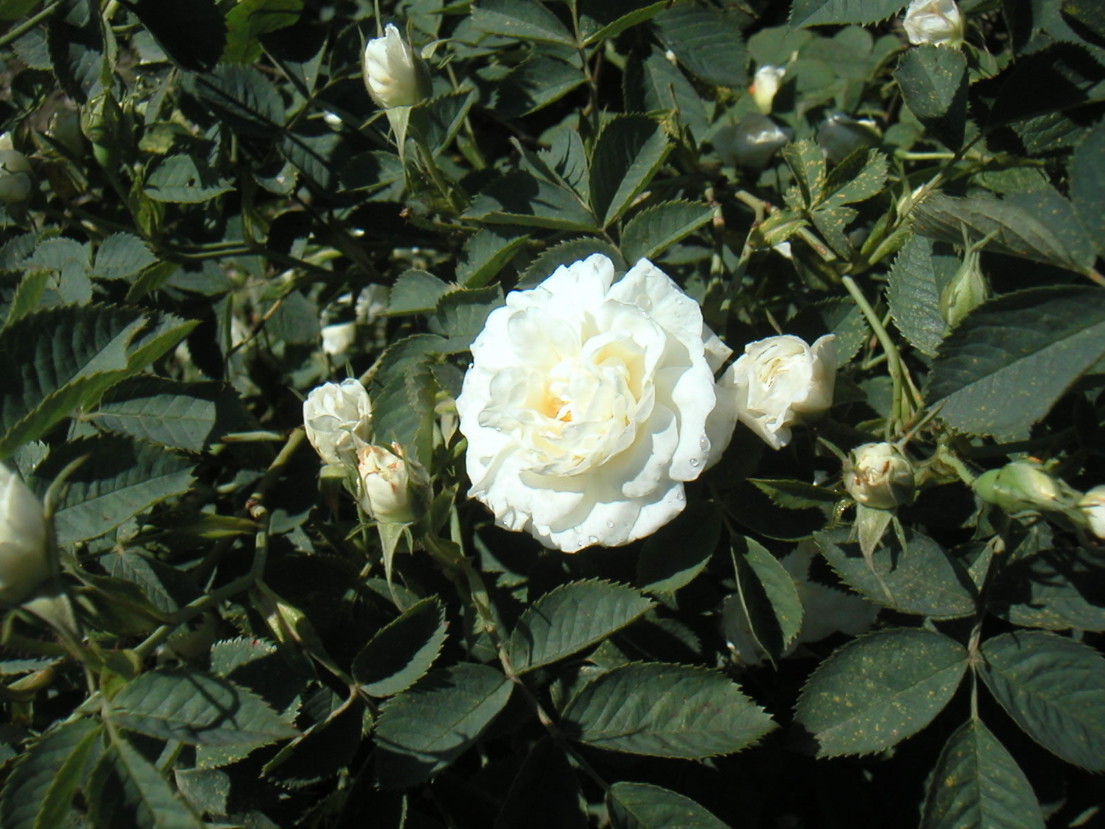 Watch Rose Alba video